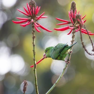 A Plain Parakeet, Brotogeris Tirica, Eats Petals of Coral Tree Flowers in Ibirapuera Park-Alex Saberi-Photographic Print