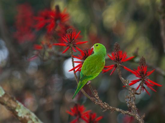 A Plain Parakeet, Brotogeris Tirica, Resting and Eating on a Coral Tree-Alex Saberi-Photographic Print