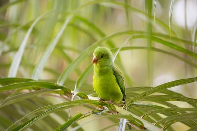 A Plain Parakeet, Brotogeris Tirica, Sits on a Branch in the Atlantic Rainforest, Ubatuba-Alex Saberi-Photographic Print