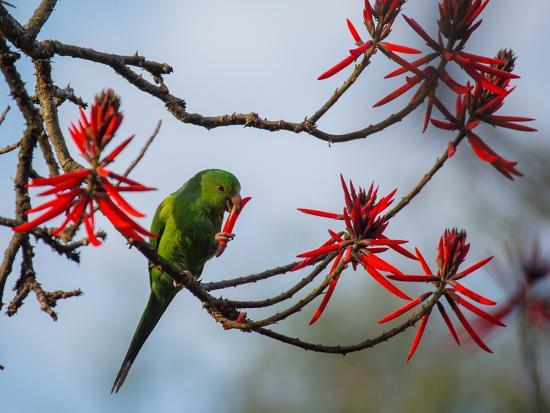 A Plain Parakeet Resting and Eating on a Coral Tree in Sao Paulo's Ibirapuera Park-Alex Saberi-Photographic Print