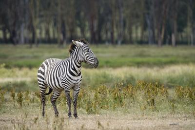 https://imgc.artprintimages.com/img/print/a-plains-zebra-equus-quagga-at-lake-nakuru-national-park_u-l-q12x33d0.jpg?p=0