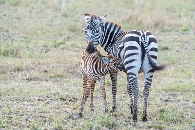 A Plains Zebra, Equus Quagga, Nursing its Young in Serengeti National Park-Tom Murphy-Photographic Print