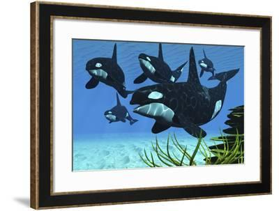 A Pod of Killer Whales Swim Along a Reef Looking for Fish Prey--Framed Art Print