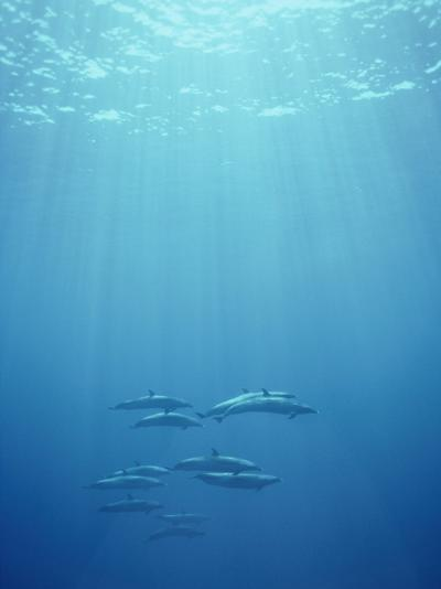 A Pod of Spotted Dolphins Swims in Rays of Sunlight Underwater-Bill Curtsinger-Photographic Print