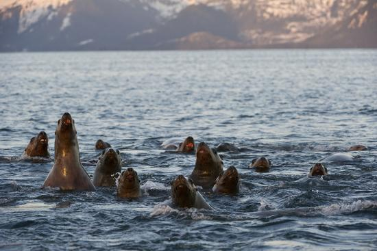 A Pod of Steller Sea Lions, Eumetopias Jubatus, Peering Above the Water's Surface-Michael S^ Quinton-Photographic Print