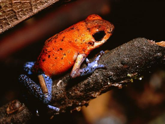 A Poison Arrow Frog Sits on Bark in the Rain Forest-Tim Laman-Photographic Print