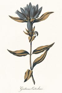 Gentiana Catesbaci - Golden by A^ Poiteau
