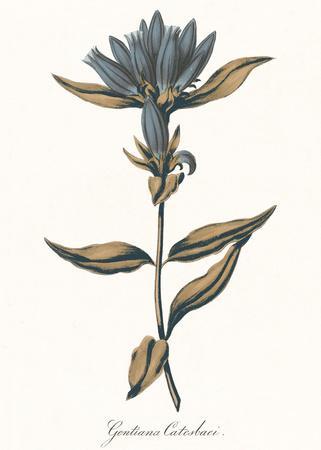Gentiana Catesbaci - Golden