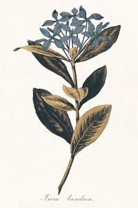 Ixora Banduca - Golden by A^ Poiteau