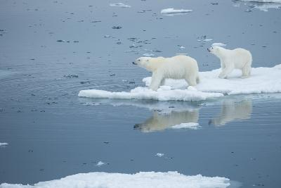 A Polar Bear and Cub Stand on Melting Pack Ice-Michael Melford-Photographic Print