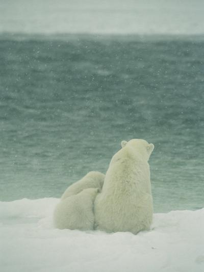 A Polar Bear and Her Cubs Sit Near Waters Edge-Norbert Rosing-Photographic Print