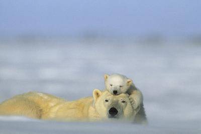 A Polar Bear Cub Finds a Peaceful Sleeping Spot On Its Mother's Head-Norbert Rosing-Photographic Print