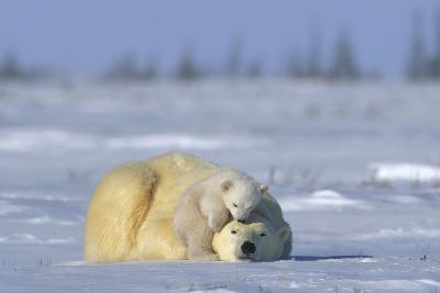 A Polar Bear Cub Plays with It's Resting Mother. Ursus Maritimu-Norbert Rosing-Photographic Print