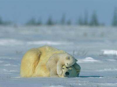 A Polar Bear Cub Rests Soundly Atop its Mothers Head-Norbert Rosing-Photographic Print