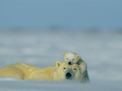 A Polar Bear Cub (Ursus Maritimus) Finds a Peaceful Sleeping Spot on its Mothers Head-Norbert Rosing-Photographic Print