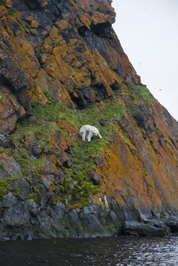 A Polar Bear Descends a Cliff on a Small Island in Search of Little Auks-Andy Mann-Photographic Print