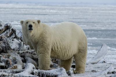 A Polar Bear Feeds on a Whale Carcass in Kaktovik, Alaska-Cristina Mittermeier-Photographic Print