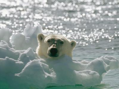 A Polar Bear in the Water Peers up over a Chunk of Ice-Norbert Rosing-Photographic Print
