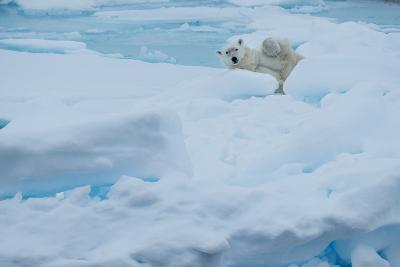 A Polar Bear Lounging on Drift Ice-Michael Melford-Photographic Print
