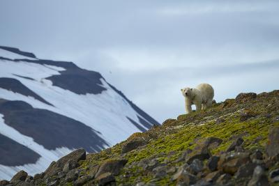 A Polar Bear on a Small Island on the Lookout for Little Auks-Andy Mann-Photographic Print