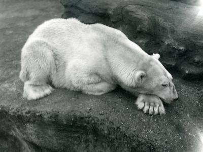 A Polar Bear Resting with its Head on its Paw at London Zoo, October 1920-Frederick William Bond-Photographic Print