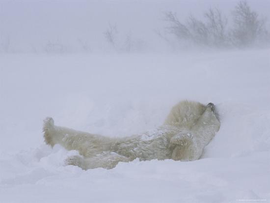 A Polar Bear Rolls About in a Snow Drift-Norbert Rosing-Photographic Print
