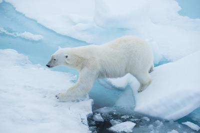 A Polar Bear Steps from One Chunk of Drift Ice to Another-Michael Melford-Photographic Print