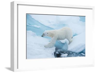A Polar Bear Steps from One Chunk of Drift Ice to Another-Michael Melford-Framed Photographic Print