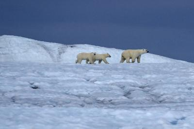 A Polar Bear, Ursus Maritimus, and Her Cubs Walk on the Top of an Ice Shelf-Jay Dickman-Photographic Print