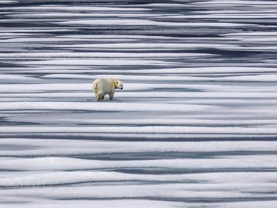A Polar Bear, Ursus Maritimus, on Ice Floes in the Canadian Archipelago-Jay Dickman-Photographic Print