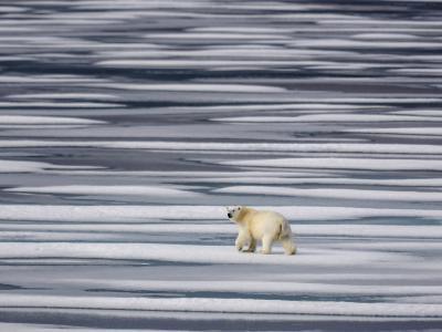 A Polar Bear, Ursus Maritimus, on Ice Floes in the Canadian Archipelago-Jay Dickman-Photographic Print