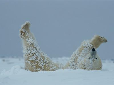 A Polar Bear (Ursus Maritimus) Rolls Through the Snow-Norbert Rosing-Photographic Print