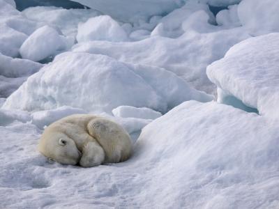 A Polar Bear, Ursus Maritimus, Sleeping on Ice in Davis Strait-Jay Dickman-Photographic Print