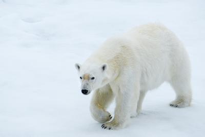 A Polar Bear Walking on Ice-Michael Melford-Photographic Print