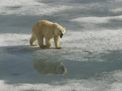A Polar Bear Walks Across the Pack Ice of Svalbard Archipelago-Ralph Lee Hopkins-Photographic Print