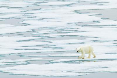 A Polar Bear Walks on Pack Ice-Ralph Lee Hopkins-Photographic Print