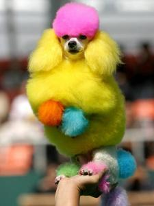 A Poodle Named Peter is Posed on its Owner's Hand During Competition at the World Dog Exhibition