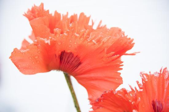 A Poppy Flower-Michael Melford-Photographic Print