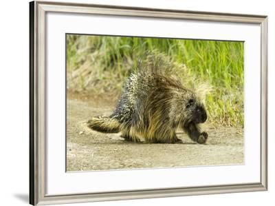 A Porcupine Walks on a Dirt Path-Barrett Hedges-Framed Photographic Print
