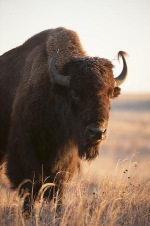 https://imgc.artprintimages.com/img/print/a-portrait-of-a-bison-on-a-ranch_u-l-pol0360.jpg?p=0