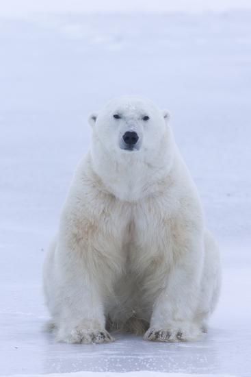 A Portrait of a Blood Stained Male Polar Bear Sitting on Sea Ice-Matthias Breiter-Photographic Print