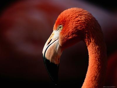 A Portrait of a Captive Greater Flamingo-Tim Laman-Photographic Print