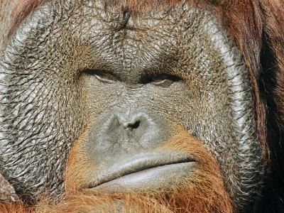 A Portrait of a Captive Male Orangutan-Norbert Rosing-Photographic Print
