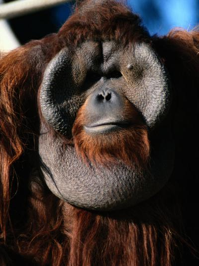 A Portrait of a Captive Orangutan-Tim Laman-Photographic Print