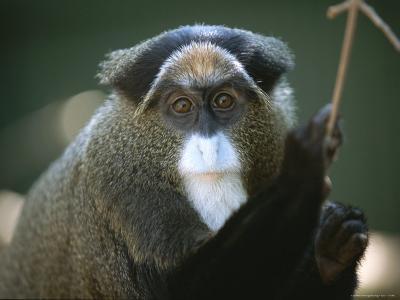 A Portrait of a Debrazzas Monkey-Joel Sartore-Photographic Print