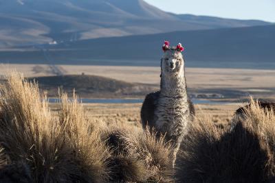 A Portrait of a Large Llama in Sajama National Park, Bolivia-Alex Saberi-Photographic Print