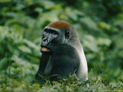 A Portrait of a Lowland Gorilla Appearing to Look Surprised-Michael Fay-Photographic Print