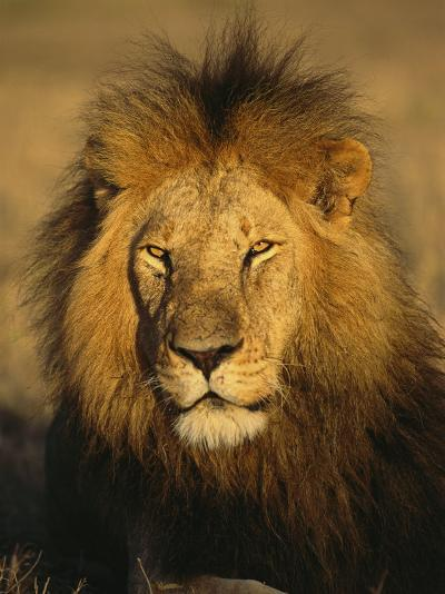 A Portrait of a Male African Lion Sitting in the Sun--Photographic Print