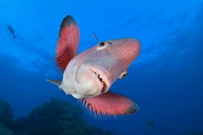 A Portrait Of A Mexican Hogfish (Bodianus Diplotaenia)-Alex Mustard-Photographic Print