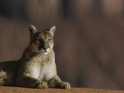 A Portrait of a Mountain Lion at Rest-Norbert Rosing-Photographic Print